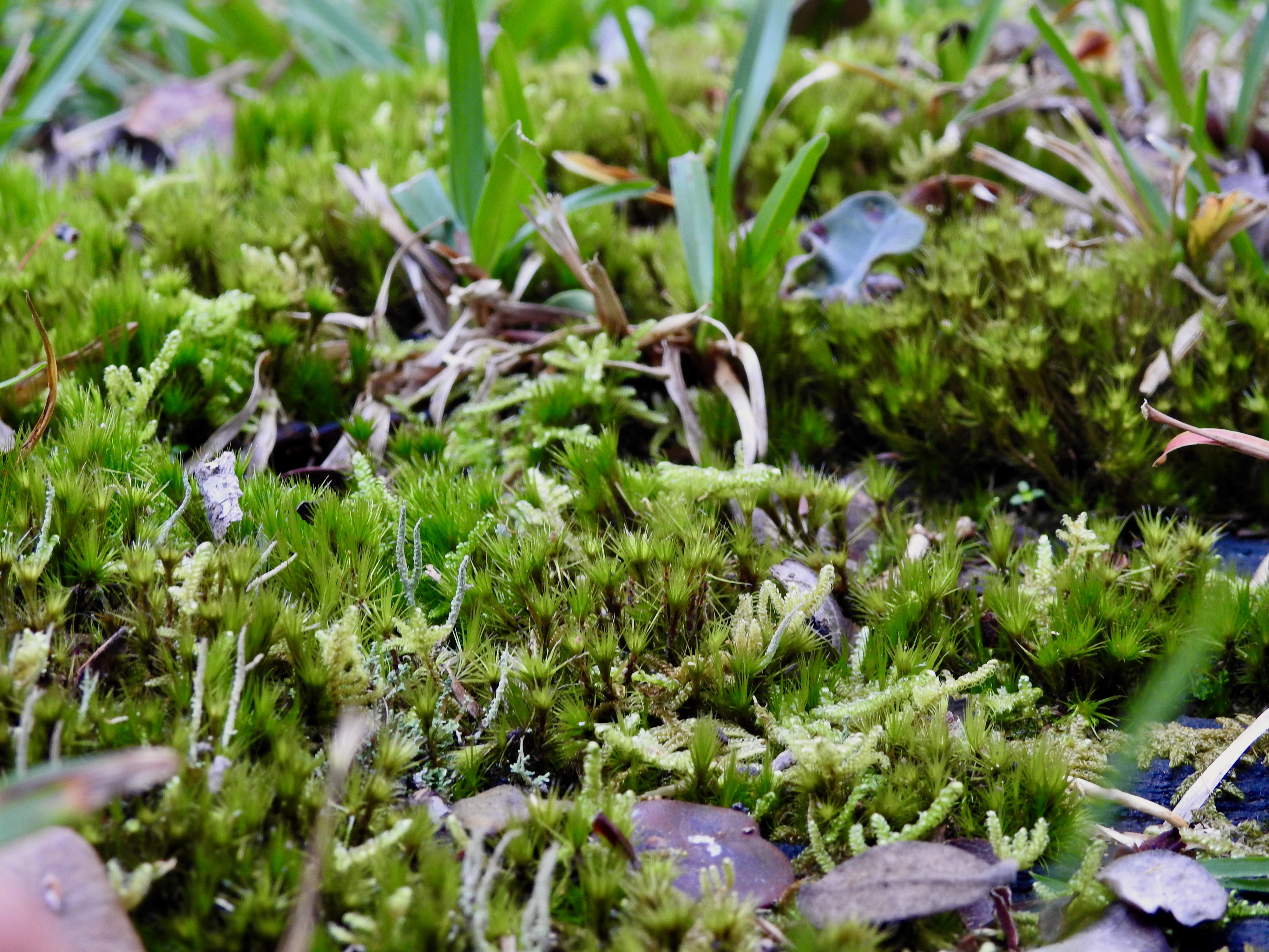 A close-up photo of a patch of small moss growing, contrasted with an occasional stone and blade of grass.