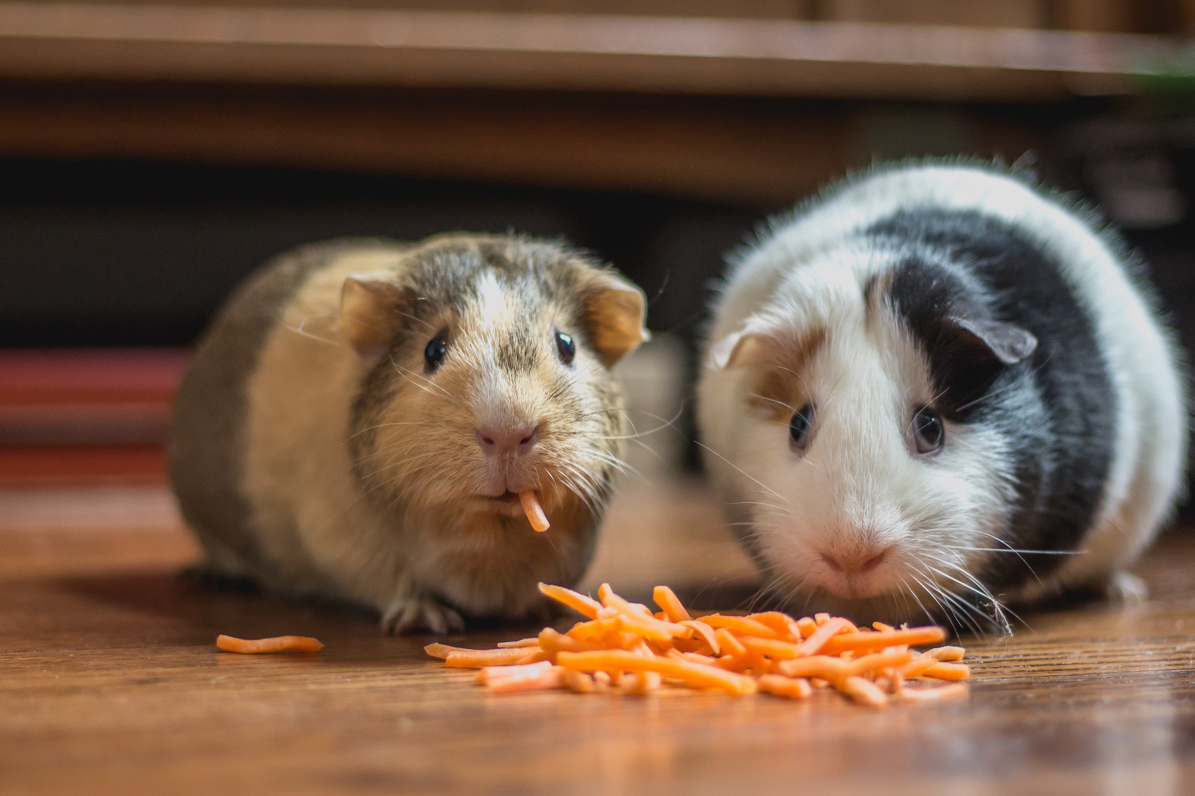 Two guinea pigs looking confused