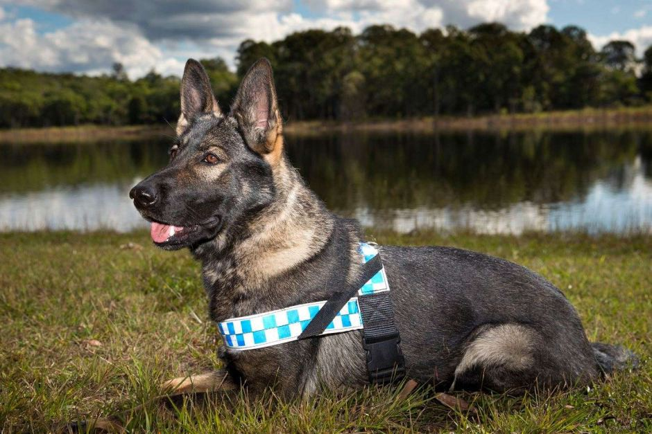Cadaver dogs trained in Germany to help fight African swine fever