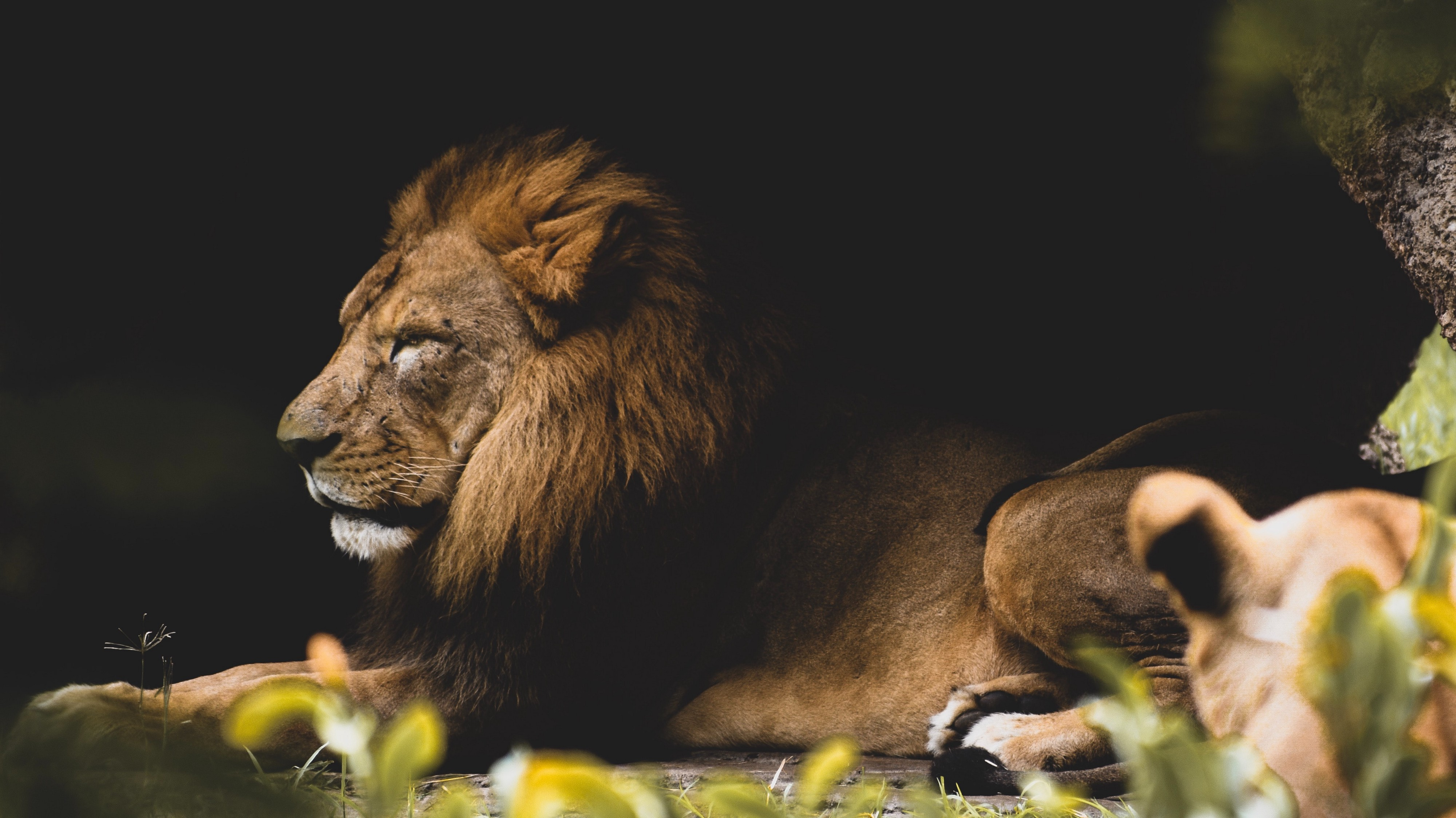 A stunning photograph of a large male lion reclining in the shadows and looking off into the distance
