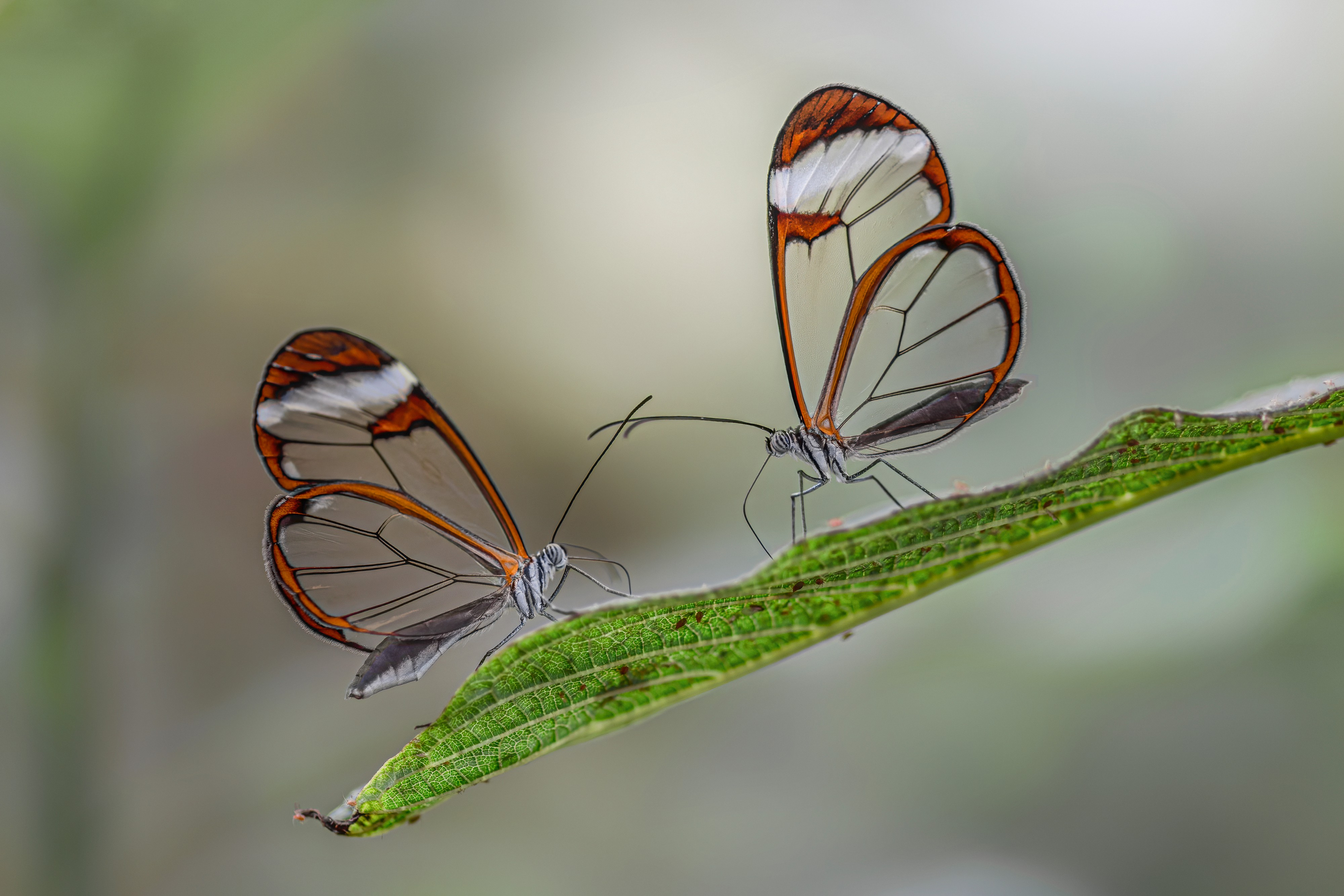 two butterflies with opaque wings, like windows, touching antennaes
