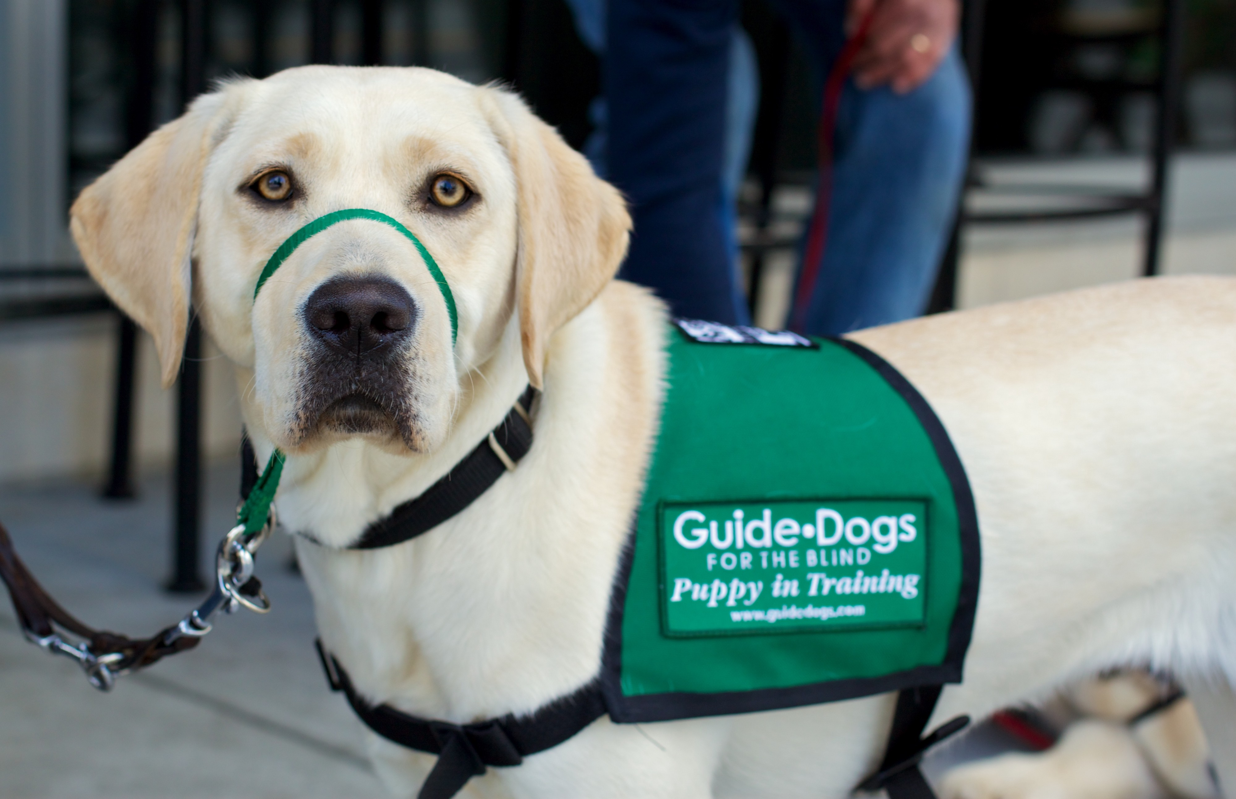 Yellow labrador Susanna wearing her Guide-Dogs for the blind, Puppy in Training vest