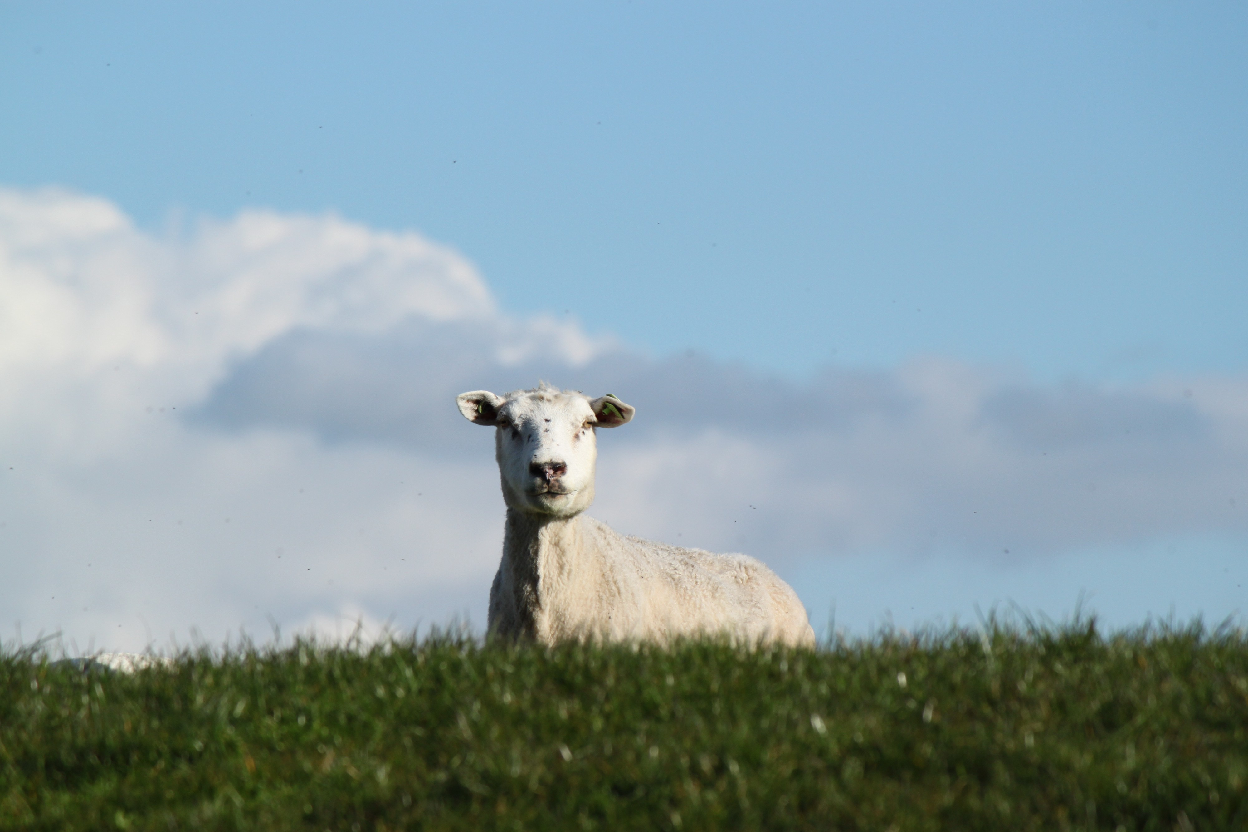 A goat peers over a patch of grass.