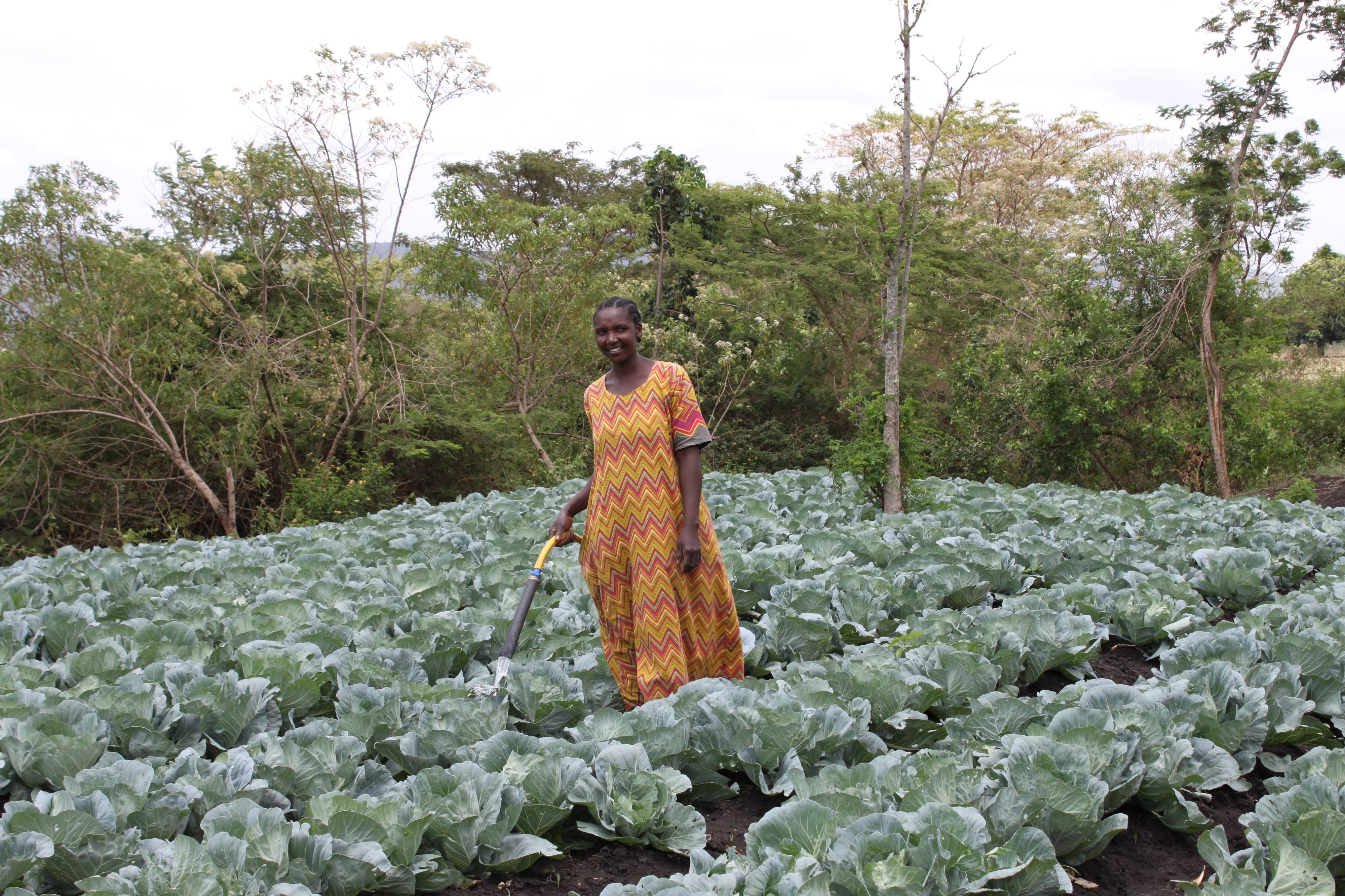 A farmer using hand irrigator powered by a solar water pump to water cabbages.