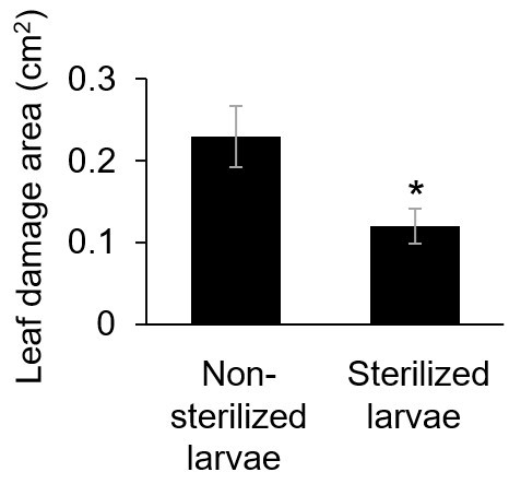 Levels of damage to A. thaliana leaves after exposure to S. litura larvae raised under conditions that did or did not sterilize their oral secretions. The asterisk indicates a statistically significant difference between the damage levels under the different conditions
