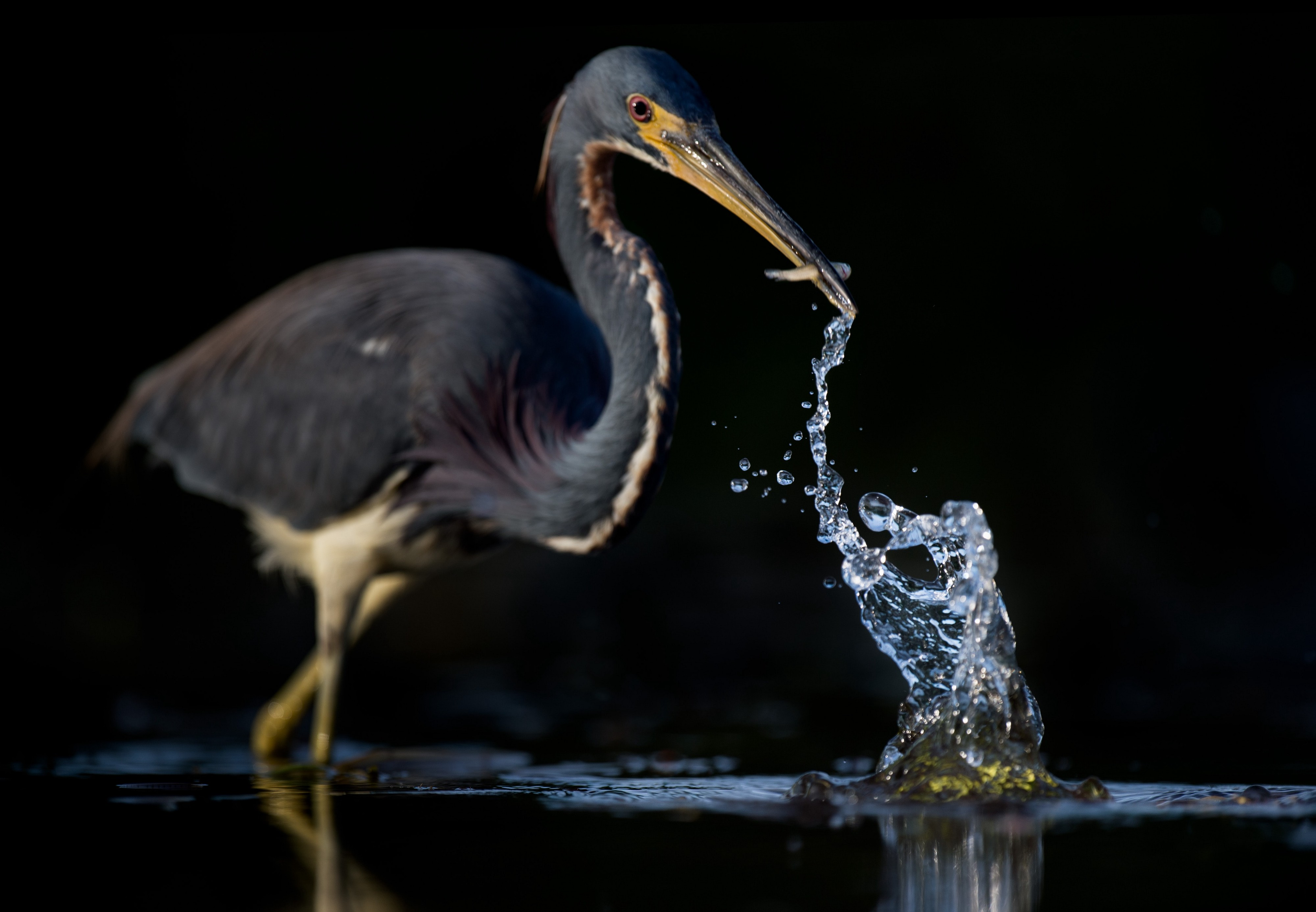A Heron just getting one fish