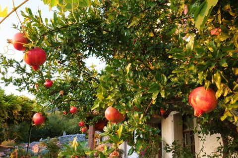 Pomegranate Tree Information, Questions and Answers | by 72 Tree Removal  Services | Medium