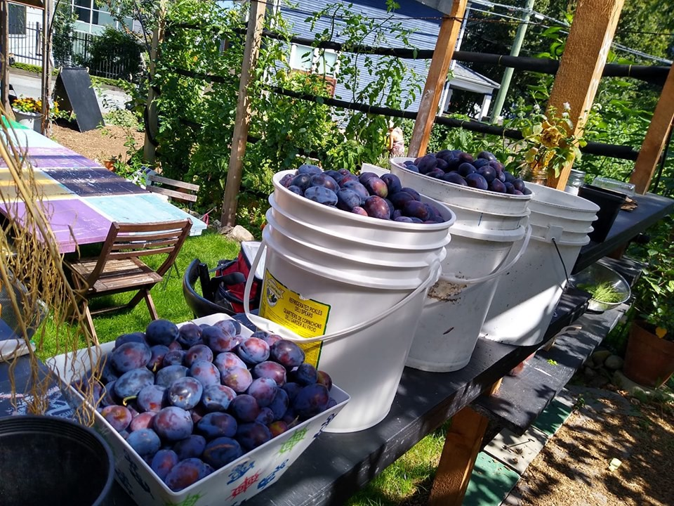 Fresh plums in the garden