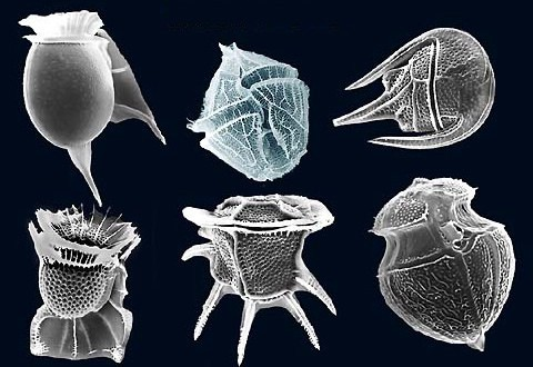 Dinoflagellates: Blooms, Bleaching, and Bioluminescence | by Bayleigh  Murray | Protozoan | Medium