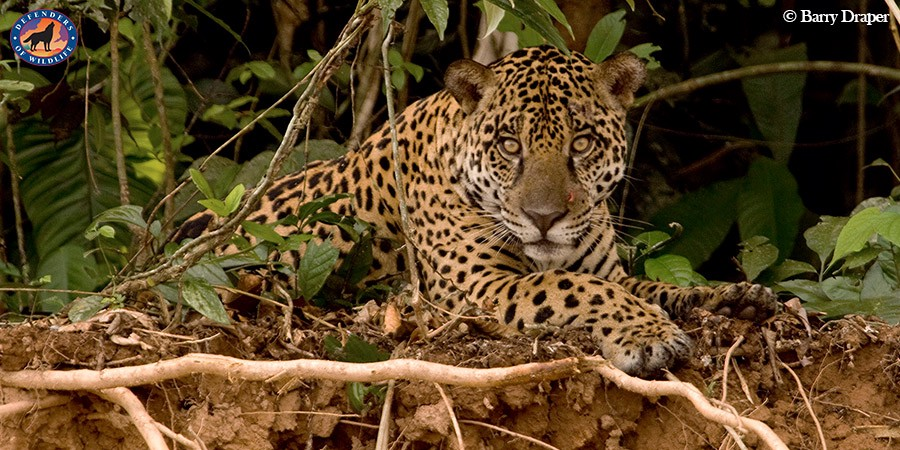 Jaguars Are One Of The Big Cat Species Native To North America. They Have  Historically Ranged From The Southwestern U.S., Through Central America And  Into ...