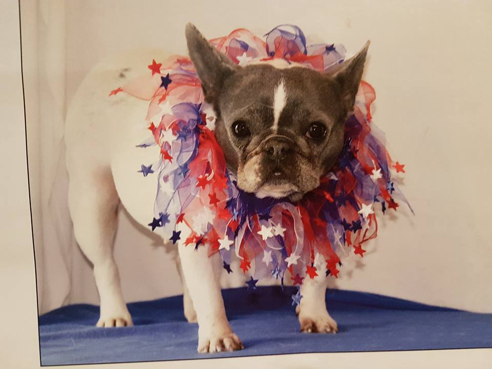 New Colours New Problems The French Bulldog Dilemma