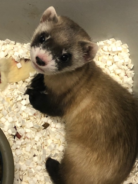 A black-footed ferret kit laying in paper bedding