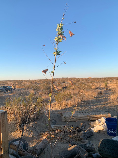 A newly planted tree in the desert, growing new green leaves as the sun sets upon the golden horizon.