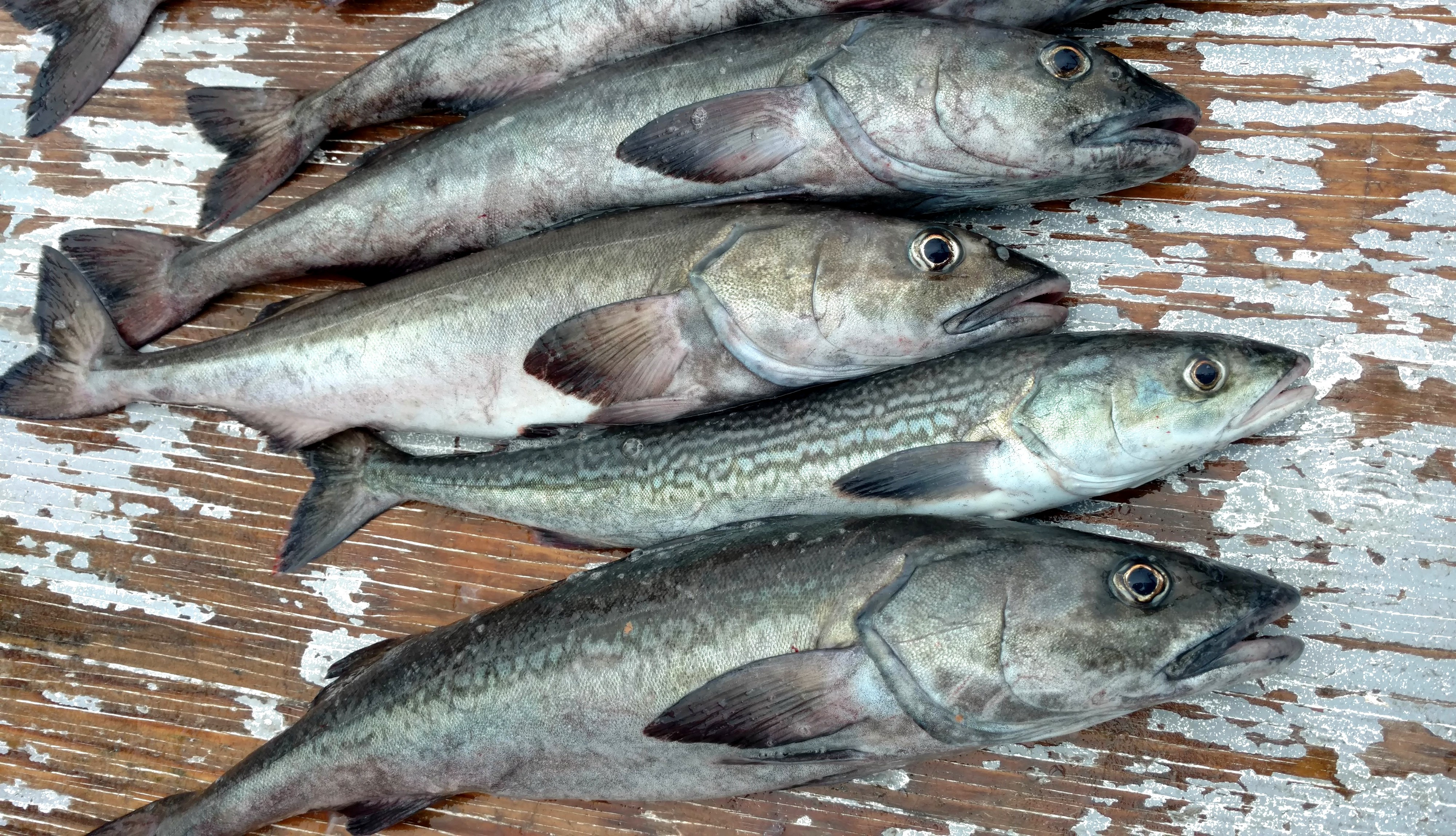 sablefish on a boat deck