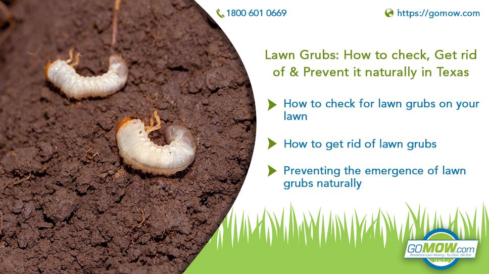 Lawn Grubs How To Check Get Rid Of Prevent It Naturally In Texas