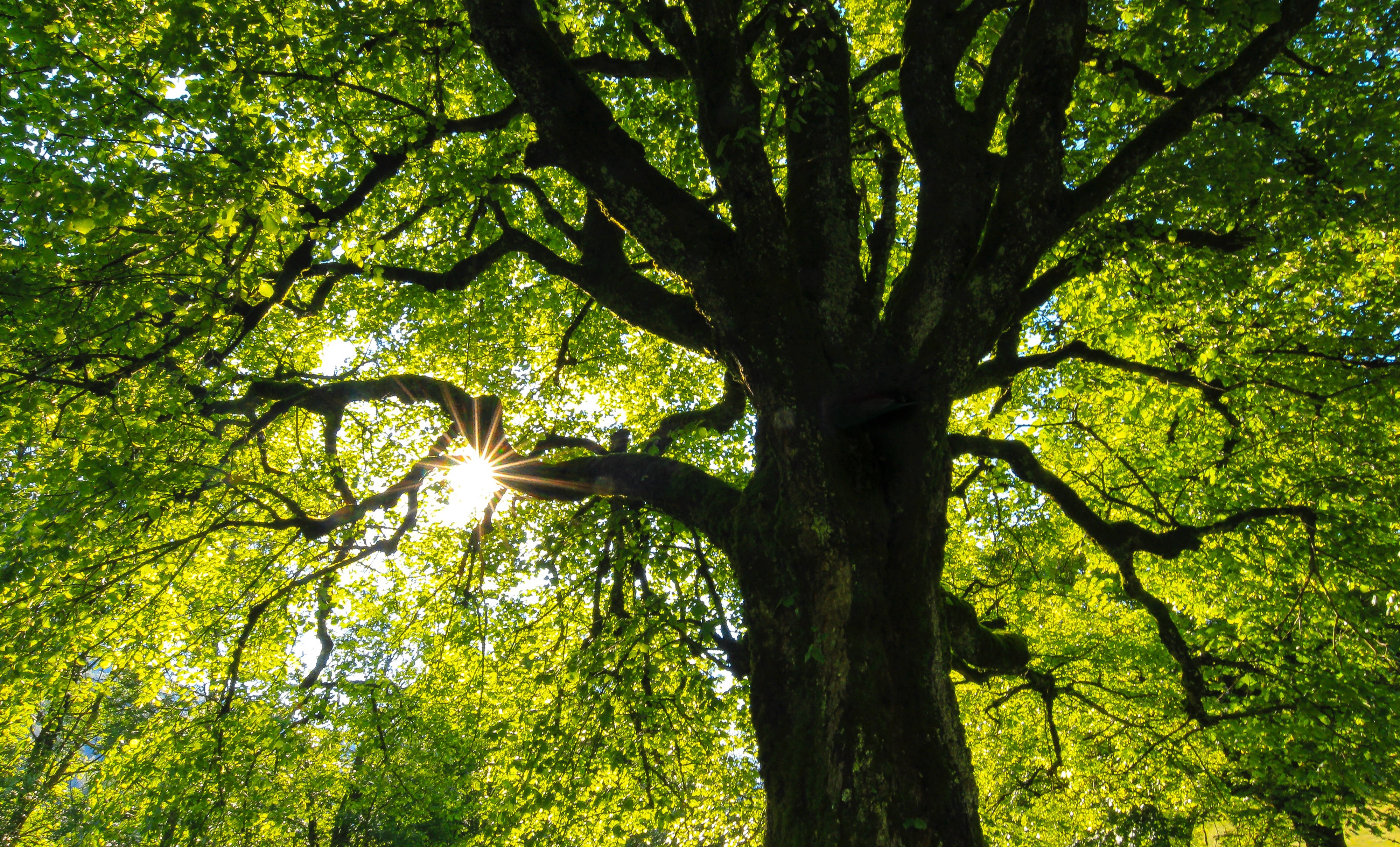 beautiful spreading live oak tree with sunlight shining through leaves