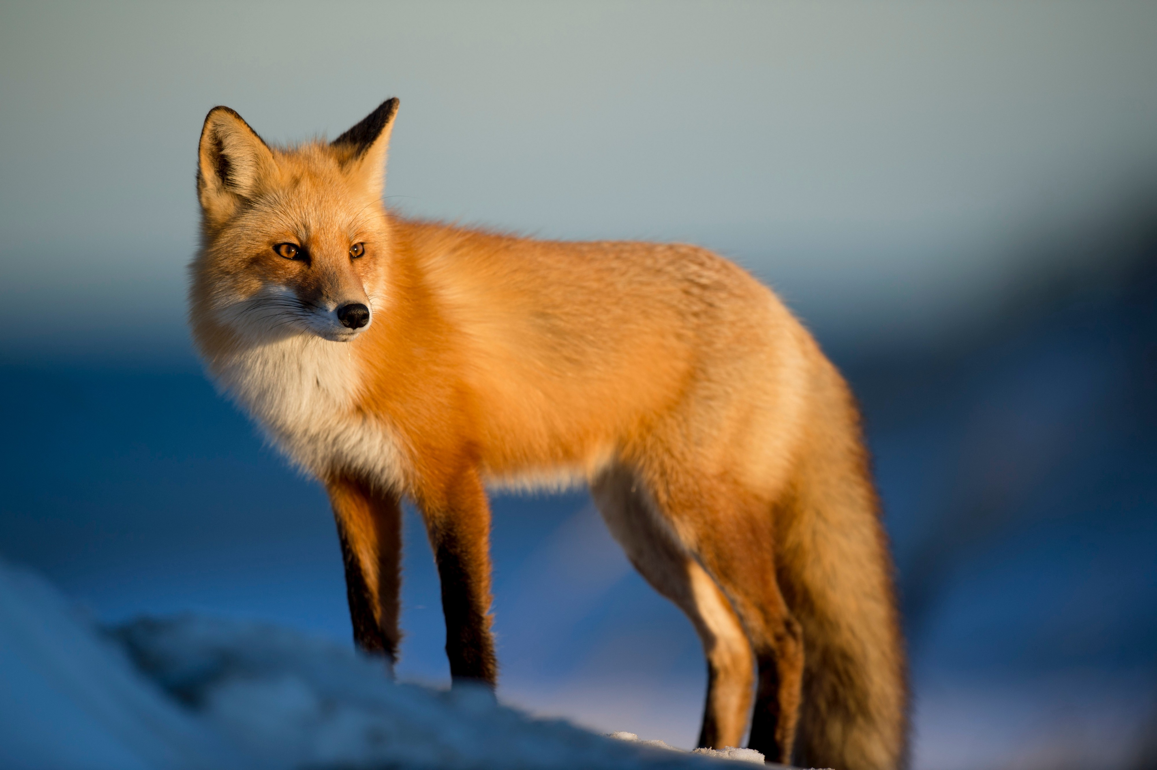 The Fox And The Crow A Society Teaches Children Being The Fox By Scott Douglas Jacobsen Humanist Voices Medium