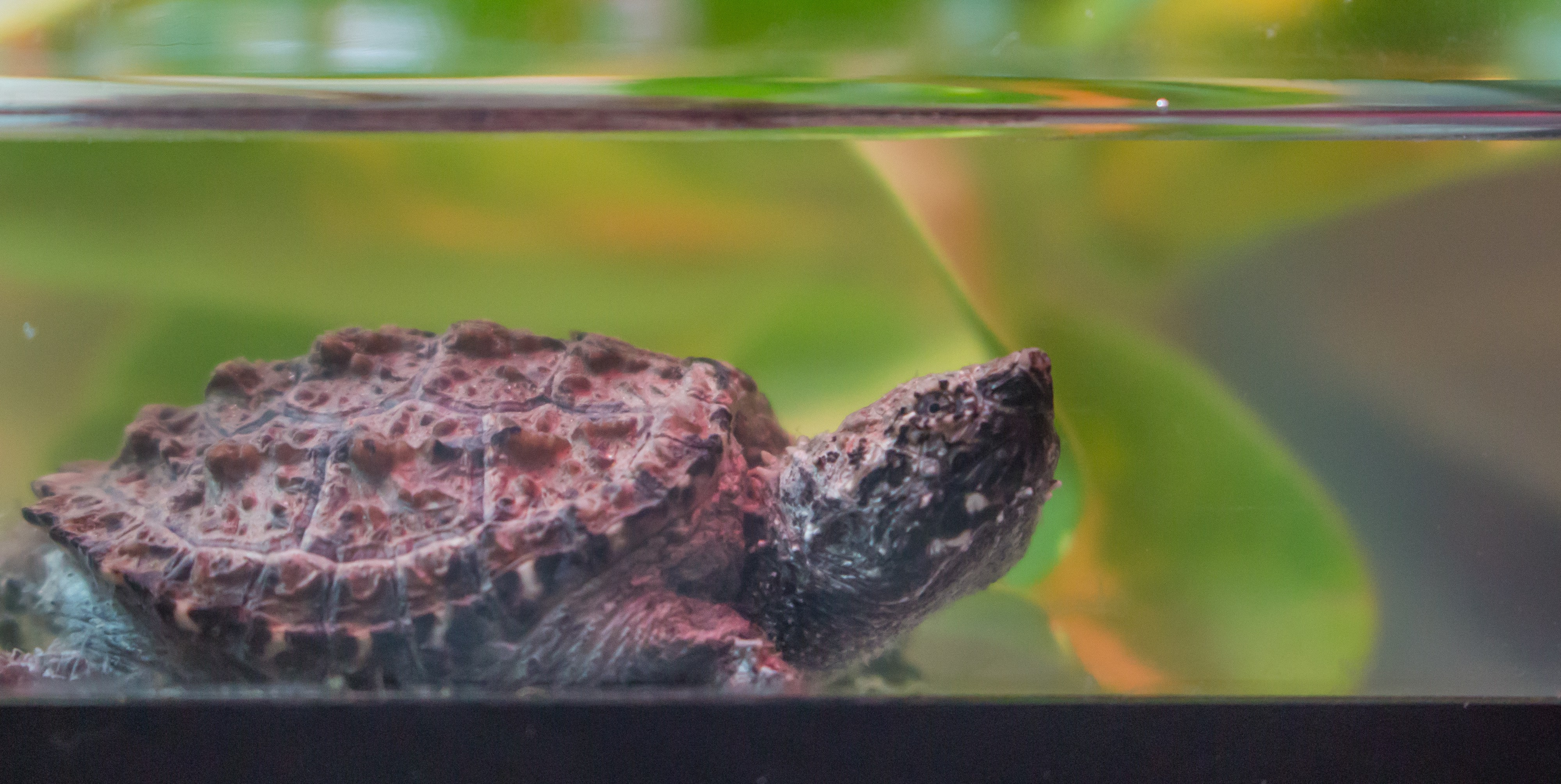 Baby Snapping Turtles Found In Swimming Pool By Conservancy Of Swfl A Week Inside The Von Arx Wildlife Hospital Medium