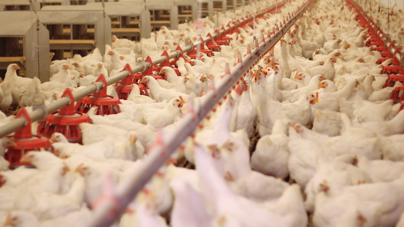 The rise of chickens raised without medically important